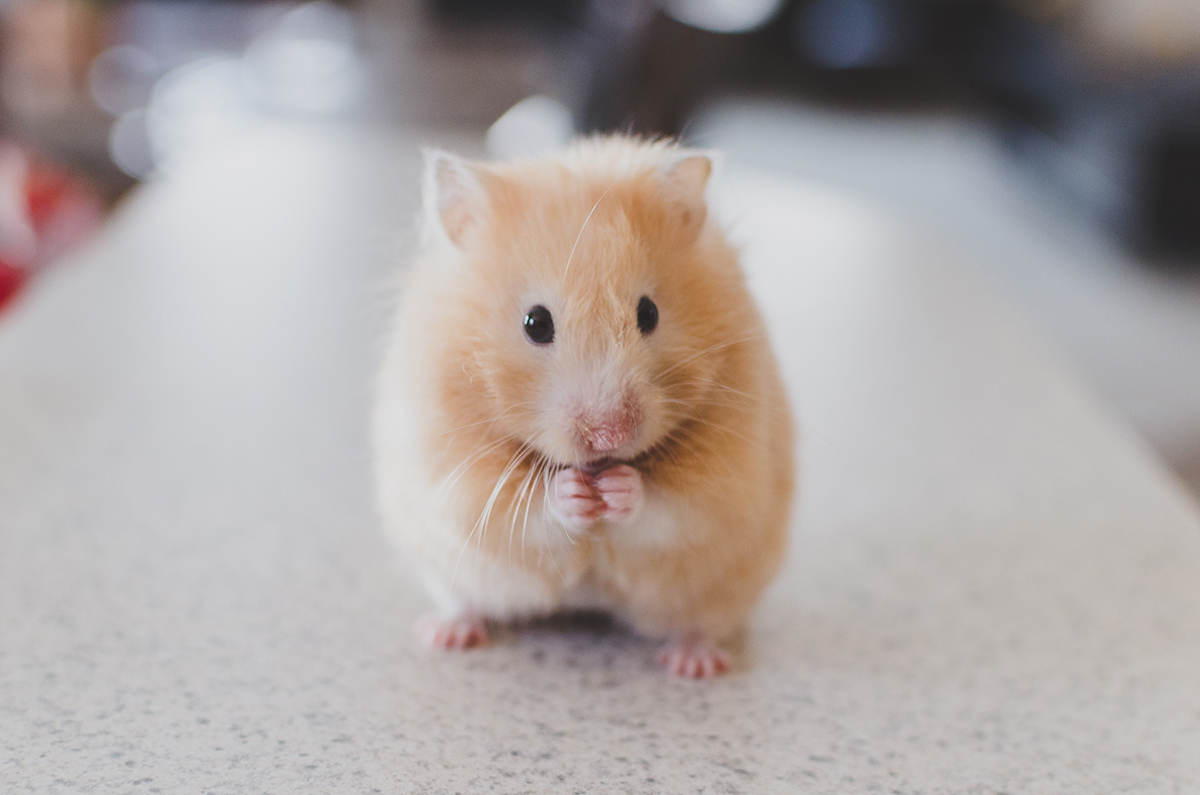 An orange hamster sits on a table, holding their incredibly small pink hamster hands together.