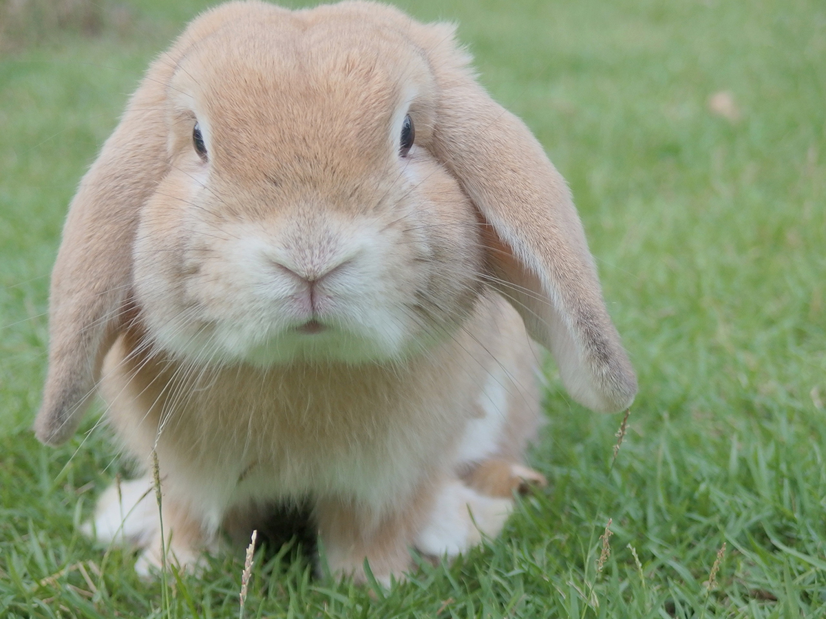 A small tan rabbit sits on green grass. The rabbit has a little face.
